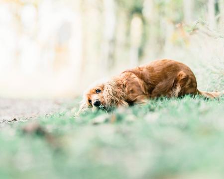 cocker: Ginger cocker spaniel lying down in grass.