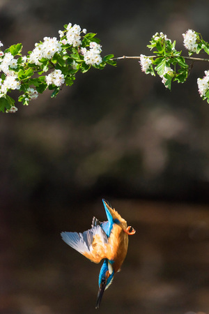 alcedo atthis: Kingfisher diving for fish from branch with bloom.