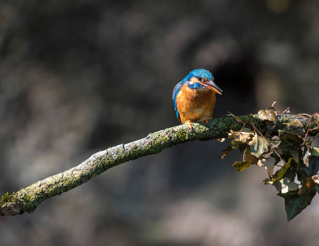 alcedo atthis: Alert kingfisher on branch with threatening attitude. Stock Photo