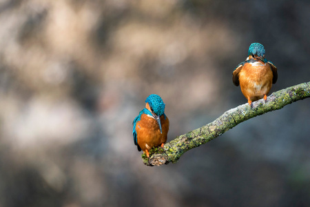 alcedo atthis: Male and female kingfisher perched on branch. Stock Photo