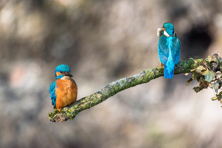 Male and female kingfisher perched on branch. Stock Photo