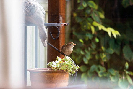 House sparrow perched on iron table leg in garden.