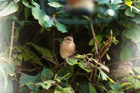 outdoor lighting: Female house sparrow perched on twig in hedge.