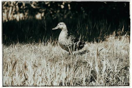Old fashioned black and white photo of mallard (Anas platyrhynchos) female walking on grass of shore.