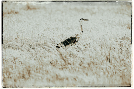 ardea: Old fashioned black and white photo of grey Heron (Ardea cinerea) sideview in grass.