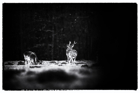 Old black and white photo of male fallow deer standing in meadow of forest. 版權商用圖片