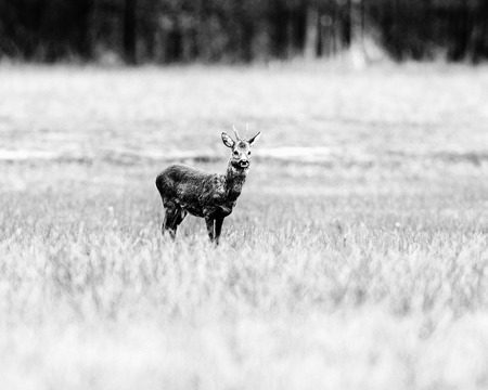 Old black and white photo of roe deer buck standing in field. Stock Photo