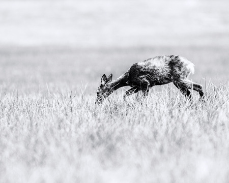 Old black and white photo of roe deer doe during moult grazing in field.