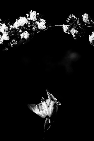 Classic black and white photo of kingfisher diving for fish from branch with bloom.