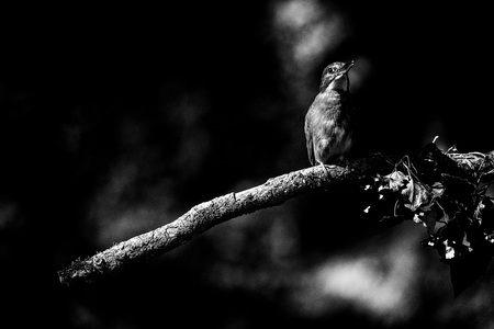Classic black and white photo of alert kingfisher on branch with threatening attitude.