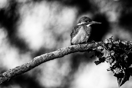 Classic black and white photo of kingfisher perched on branch. Stock Photo