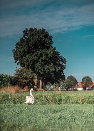 Dutch rural landscape with one single mute swan in meadow.