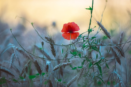Close-up of single poppy flower in wheat field. Stock Photo