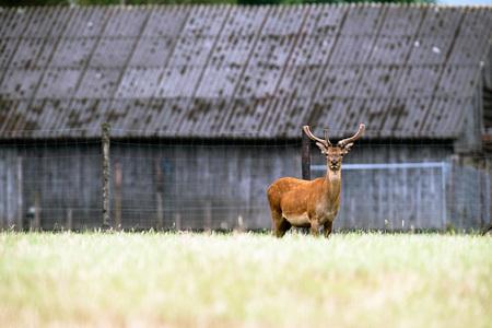 Red deer stag with antlers in velvet at deer farm.