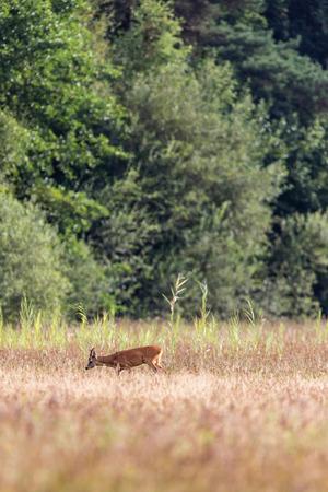 Roe deer buck grazing in field