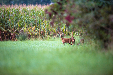 Alert roe deer mother with two calfs at edge of bushes.
