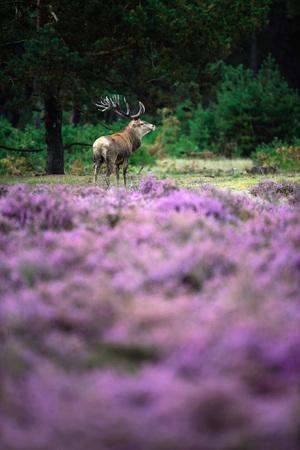 Red deer stag in blooming moorland.