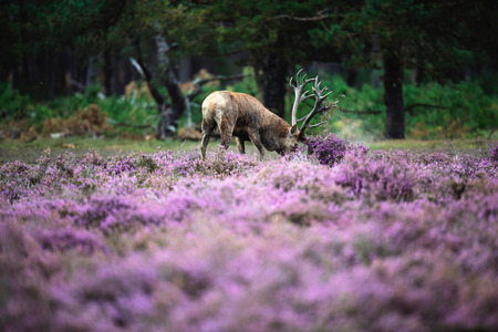 Red deer tossing with antlers in heather bushes. Stock Photo