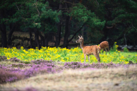 Red deer hind in field with yellow flowers and blooming heather.