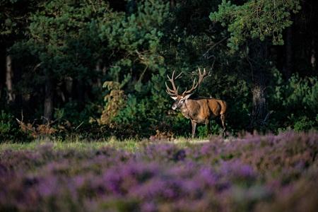Red deer stag (cervus elaphus) in sunlight walking out forest. Stock Photo