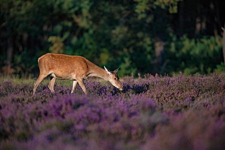 Grazing red deer hind (cervus elaphus) in blooming heather lit by low sunlight. Stock Photo