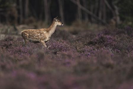 cervus: One young red deer (cervus elaphus) in blooming heather.