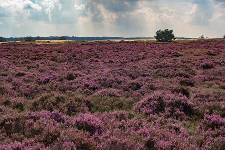 Blühendes Moor unter bewölktem Himmel. Veluwe. Die Niederlande.