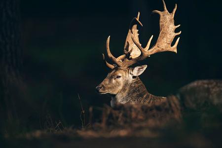 Damhirschdollar (Dama dama) beleuchtete durch Sonnenlicht im dunklen Herbstwald.