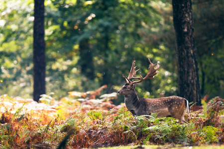 Fallow deer buck (dama dama) in ferns in fall forest. Stock Photo