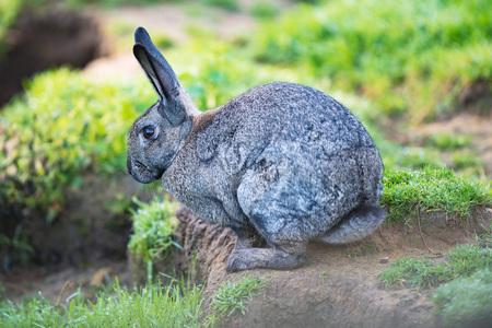 European gray rabbit (Oryctolagus cuniculus) in grass.