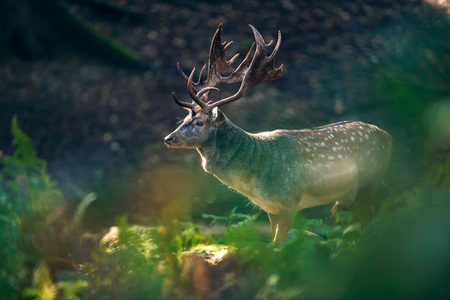 Fallow deer buck (dama dama) in ferns of forest. Stock Photo