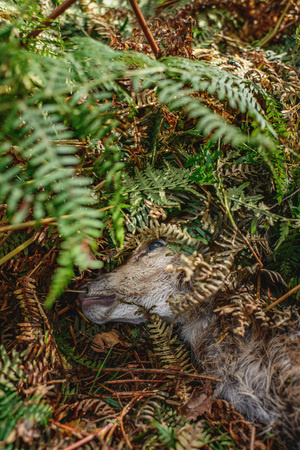Head of dead young deer lying in ferns of forest ground. Stock Photo