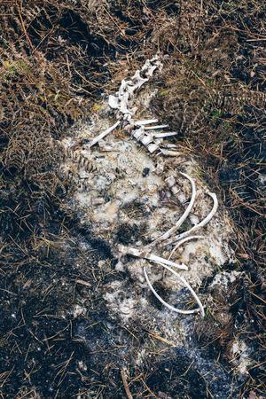 Decomposing skeleton of animal on forest ground. Stock Photo