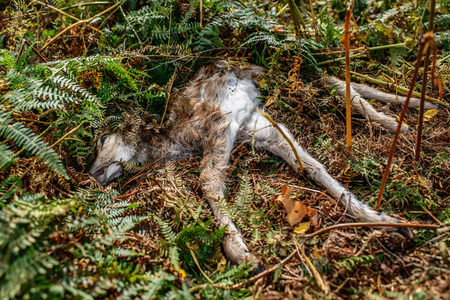 Dead young deer lying in ferns of forest ground. Stock Photo