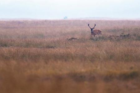 Red deer stag (cervus elaphus) in high yellow grass.