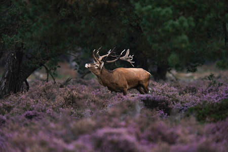 Red deer stag in rutting season in blooming moorland.