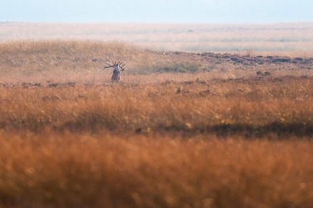 Solitary bellowing red deer stag in high yellow grass. Stock Photo