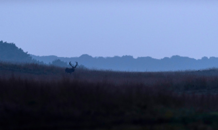 Red deer stag in high grass in misty valley