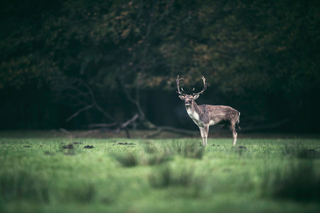 Fallow deer buck standing in meadow at edge of forest.