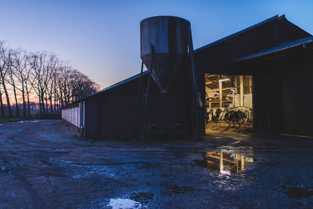 Dairy cattle in illuminated cowshed in countryside at dusk.