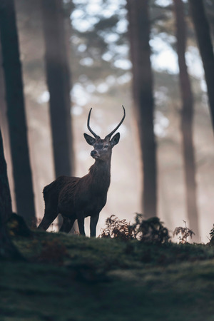 Red deer stag with pointed antlers standing on hill of misty forest.