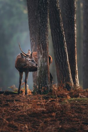 Red deer with pointed antlers smelling tree trunk in autumn pine forest. Stock Photo