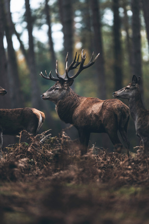 Red deer stag and hinds in fall pine forest.