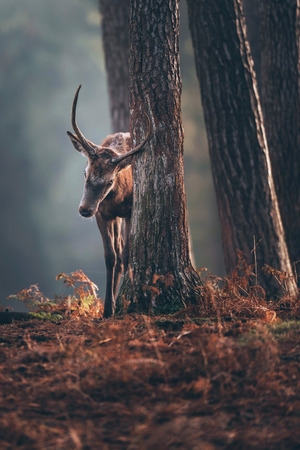 Red deer with pointed antlers marking scent on tree trunk in autumn pine forest. Stock Photo