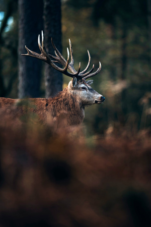 Red deer stag in autumn forest with brown colored ferns.