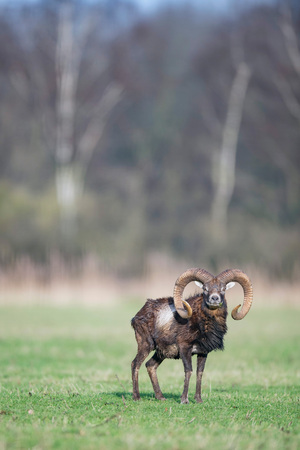 Male mouflon with big horns standing in meadow looking towards camera.