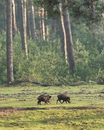 Wild boar (sus scrofa) grazing in forest meadow.