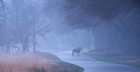 Two red deer hinds on misty forest road.