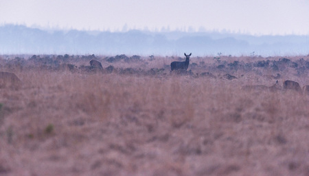 Silhouette of red deer hind in high yellow grass.
