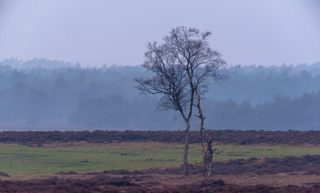 Solitary winter birch tree in misty heather landscape. 写真素材